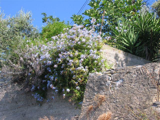 Plumbago entlang der Via Aurelia