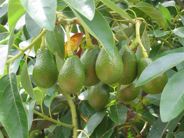 so reifen Avokados am Baum