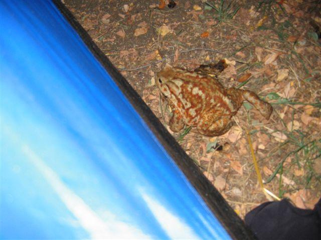 ein nächtlicher Besucher vor meinem Zelt ein riesiger Ochsenfrosch