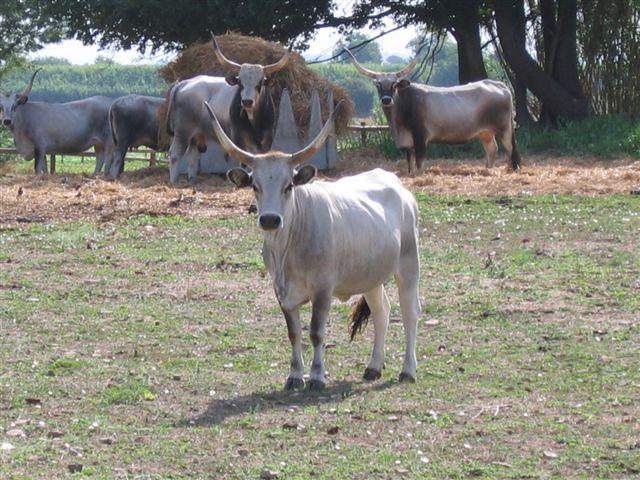 neugierige Kühe auf meinem Weg zum Flughafen